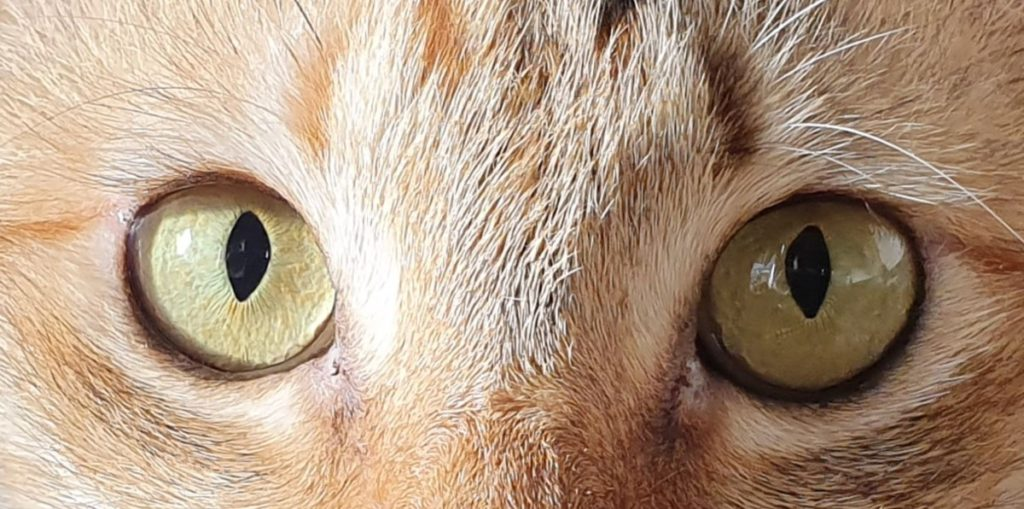 Even when cropped this cat's eyes and fur retain loads of detail on the Galaxy S10e's rear cameras