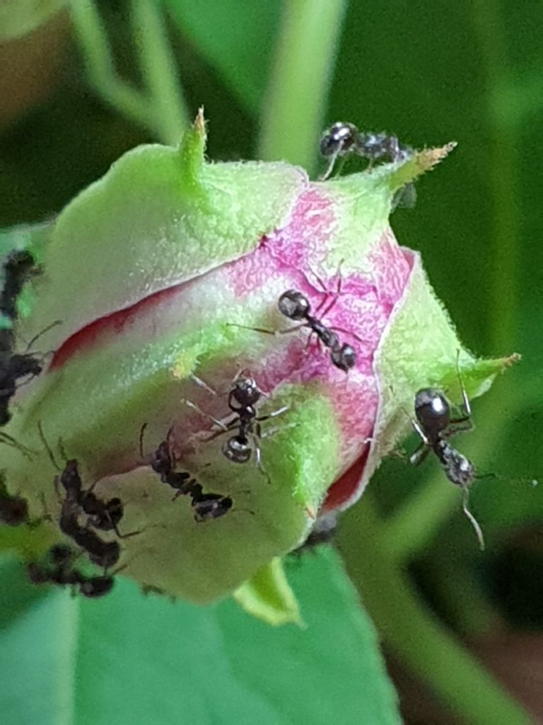 The Galaxy Note9 is capable of astounding close-ups like this shot of ants on a budding flower.